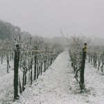 Vineyard Winter 2000