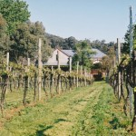 Sorrenberg Vineyard